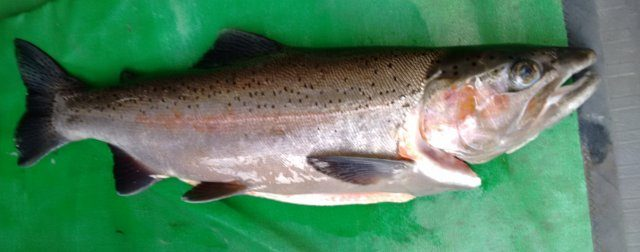 Feb 2015 River caught 4.5lb Jack