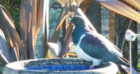 Kereru happy to find water to drink
