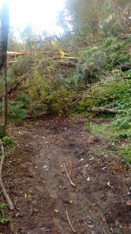 Very large Pinus Radiata fell blocking the track IMG_20180426_150605202_HDR