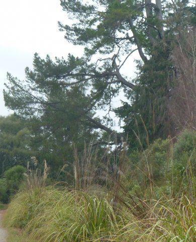 162-1-jpg Pine posing a danger