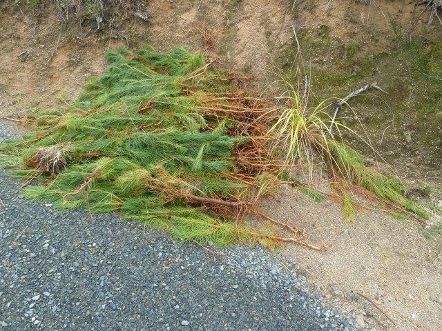 081-jpg  Wilding Pine seedlings pulled out