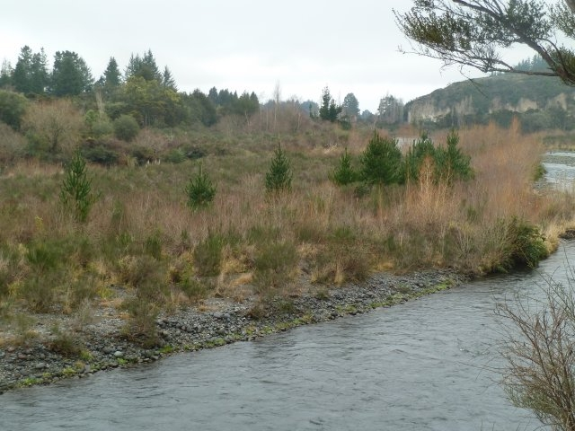 166-jpg  Invading wilding pines