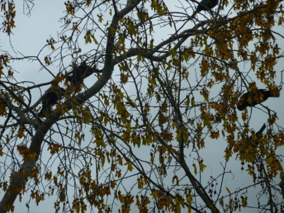 How many Tui in the Kowhai tree.