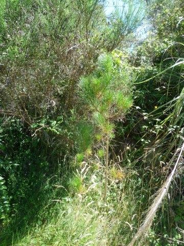 037 Pine seedling 1.3.12