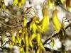 P1010061 Kowhai in flower