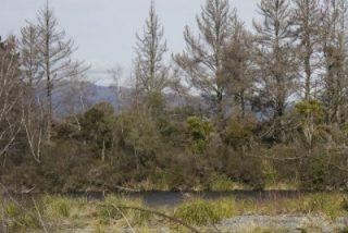 tongariro-river-1-poisoned-pines_0