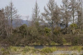 tongariro-river-1-poisoned-pines_0