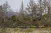 tongariro-river-2-poisoned-pines